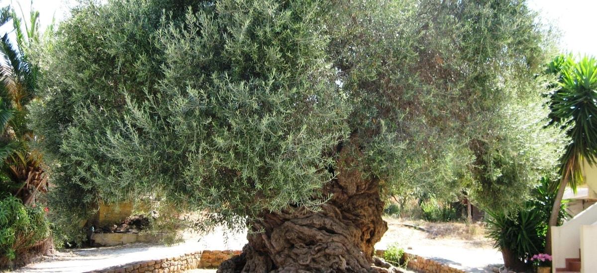 produits terroir olives de banyuls sur mer